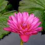 Red Cup Waterlily
